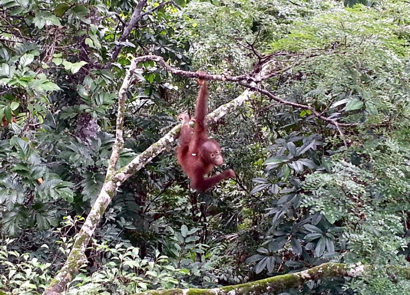 orangutan-resized