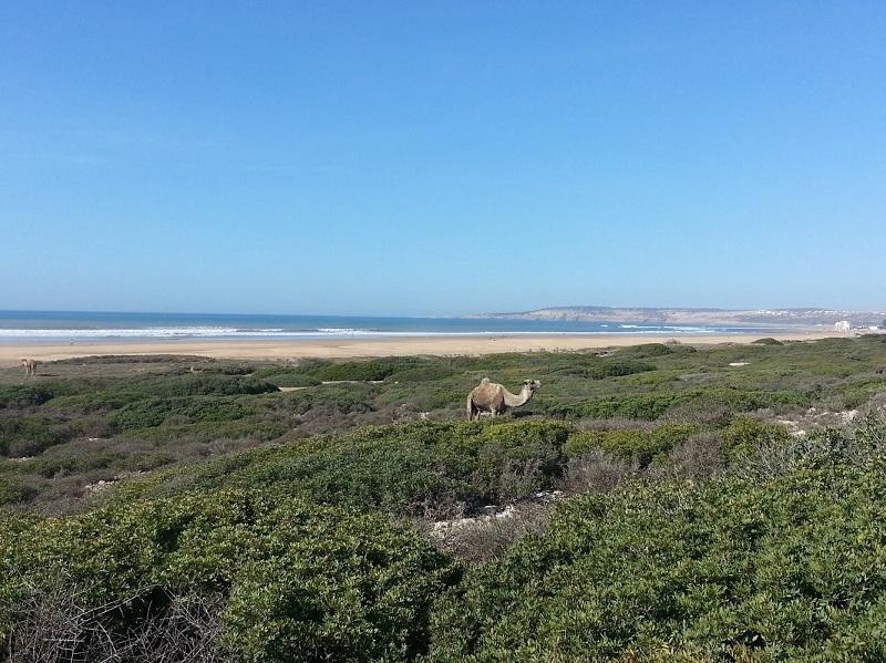 sidi camels